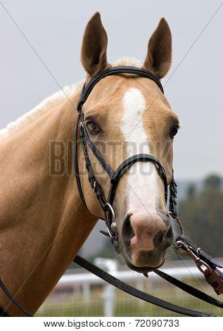 Portrait Of Akhal-teke Horse.