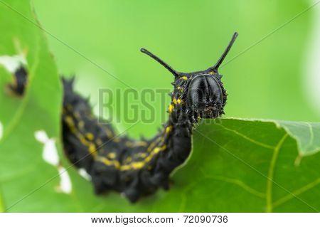 Striped Oakworm Eating Oak Leaf