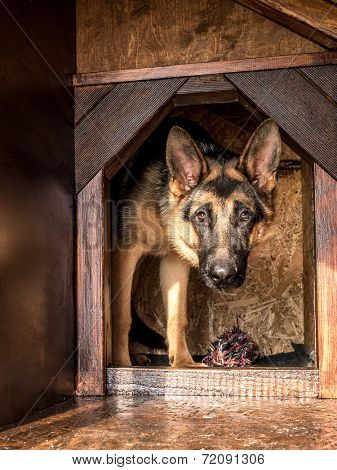 German shepherd lurking from its wooden kennel