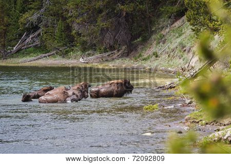 Wild Bison Herd
