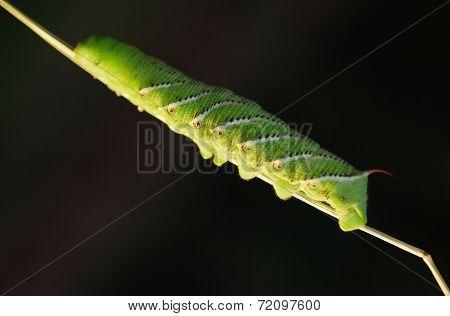 Tomato Horn Caterpillar.