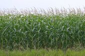 Corn Crop 2 poster
