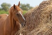 image of haystacks  - Old horse of Russian Don breed near a big haystack
