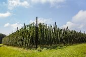 stock photo of bine  - Agricultural field with hops crop in a sunny day - JPG
