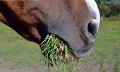 stock photo of horses eating  - close up of a chestnut horse eating grass - JPG