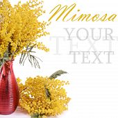 picture of mimosa  - The yellow mimosa isolated on white background - JPG