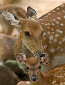stock photo of deer head  - Closeup head of a whitetail deer - JPG