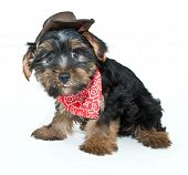 stock photo of baby cowboy  - Funny little Yorkie puppy dressed up in a cowboy hat and hanky sticking his tongue on a white background - JPG