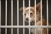 stock photo of stray dog  - Little Chion dog sits behind the bars of a shelter cage