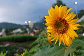 foto of night-blooming  - Sunflower blooming in the night - JPG