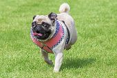 picture of brooch  - Running pug dog with fancy dirndl dress and Edelweiss brooch on Oktoberfest