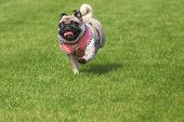 picture of brooch  - Running pug dog with fancy dirndl dress and Edelweiss brooch on Oktoberfest - JPG