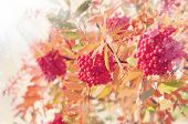 picture of mountain-ash  - Autumn background with a red mountain ash in the sun - JPG