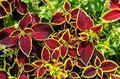 picture of geranium  - A beautiful background of red geranium leaves - JPG