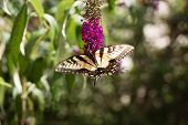 picture of butterfly-bush  - A Swallowtail Butterfly feeding from a purple Butterfly Bush