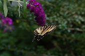 image of butterfly-bush  - A Yellow Swallowtail butterfly feeding from a purple butterfly bush - JPG