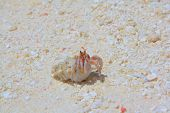 stock photo of hermit  - Curiosity cancer hermit on the white sand - JPG