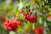 picture of mountain-ash  - Red mountain ash on a branch macro photo with selective focus - JPG