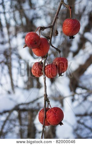 Fruits Wild Apple Trees Forest  Winter