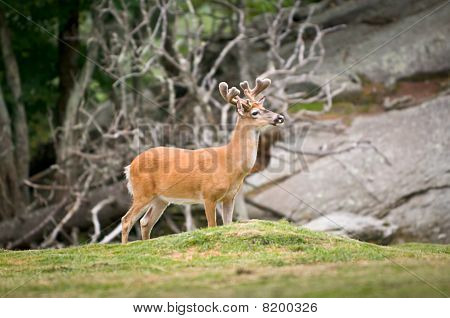 Animal Wildlife White Tailed Deer In North Carolina Mountains