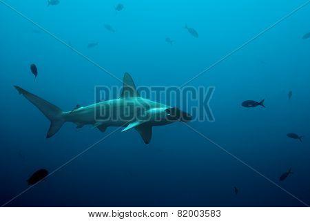 One hammerhead shark swimming in the ocean