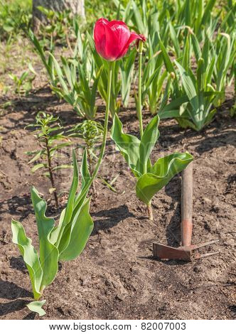 Blooming Tulips And Weeded Flower Bed In The Garden