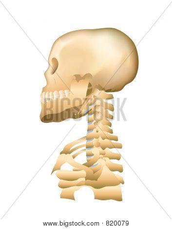 Skull & Cervical Spine