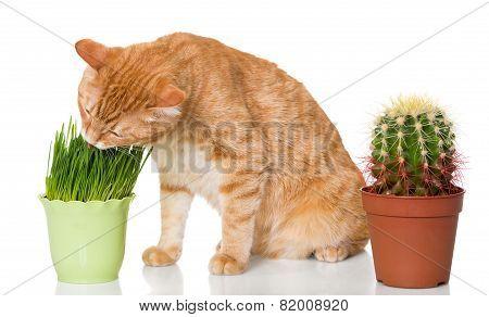 Cat Eats Grass