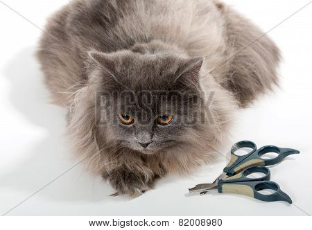 Grey Persian Cat And Tools For Care