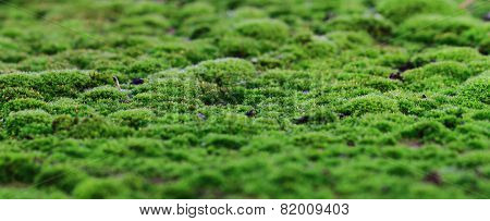 Green Moss Background
