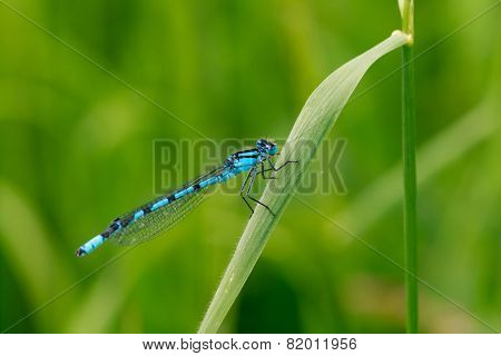 A blue damselfly on a blade of grass