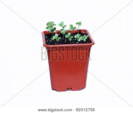 Cabbage Plant In A Pot Isolated