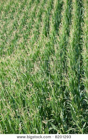 Green Corn Field In Summer