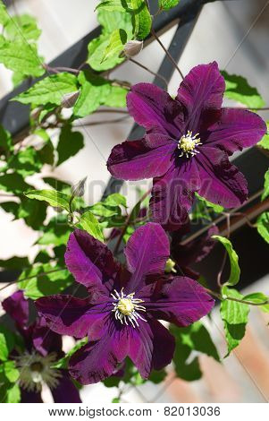 Purple Blooming Clematis