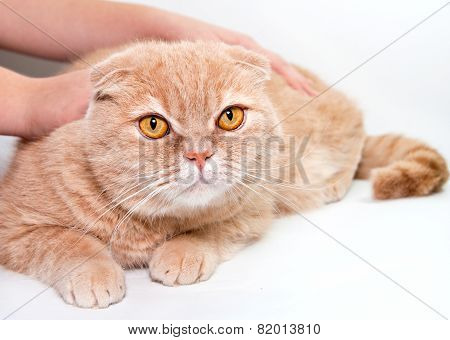 Stroking A Red Cat