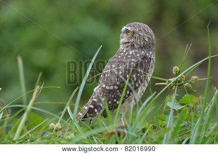 Burrowing owl in the grass