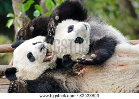 Giant Panda Mother & Cub Playing - Chengdu, China