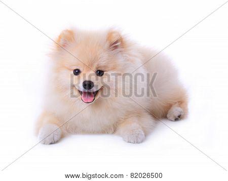 White Pomeranian Puppy Dog Isolated On White Background