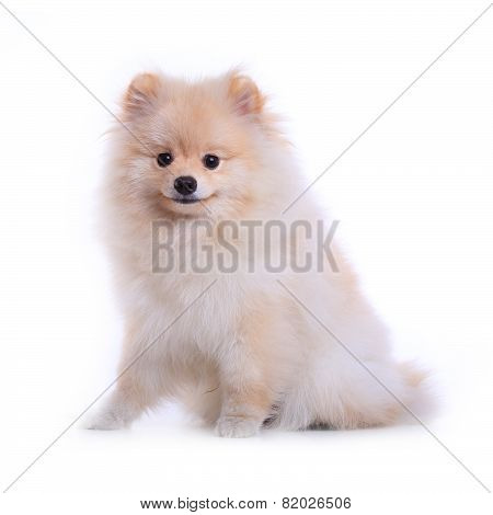 White Pomeranian Puppy Dog, Cute Pet