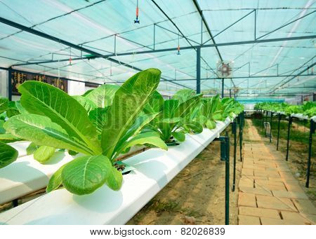 Green Lettuce, Cultivation Hydroponics Green Vegetable In Farm