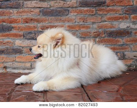 Pomeranian Puppy Dog, Cute Pet