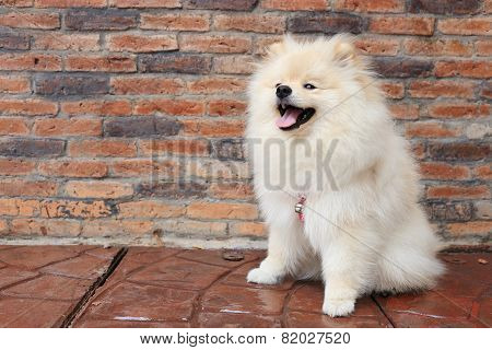 Pomeranian Puppy Dog, Cute Pet