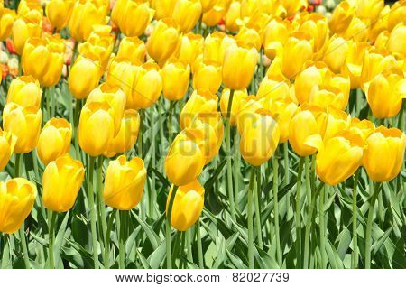Tulips at Albany Tulip Festival in New York State