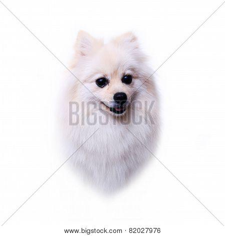 Head Dog, White Pomeranian Puppy, Cute Pet
