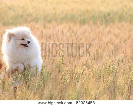 White Pomeranian Puppy Dog In Rice Field