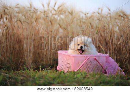 Pomeranian Puppy Dog In Basket Picnic