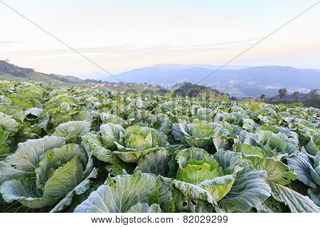 Cabbage Field In The Morning And Sunrise At Monjam Mountain , Chiangmai , Thailand