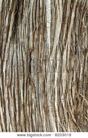 Juniperus Phoenicea Sabina Tree Trunk Texture