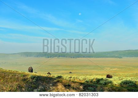 Bison In The Meadow In Hayden Valley Of Yellowstone National Park In Summer
