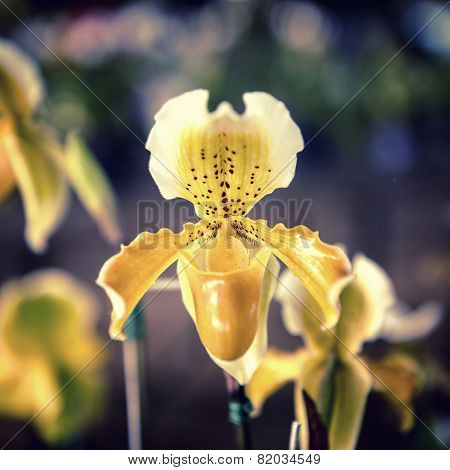 yellow orchid flower tree.Paphiopedilum